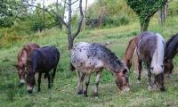 Pfälzer Pferde und Muliherde