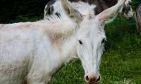 Weiße Eselschönheit