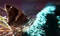 Durstiger Schmetterling