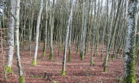 Bäume mit Masern