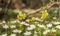 Buschwindröschen und Waldschlüsselblume