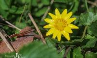 Gelbe Sonne - Scharbockskraut
