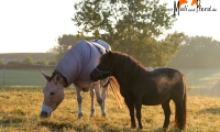 Maultier und Pony
