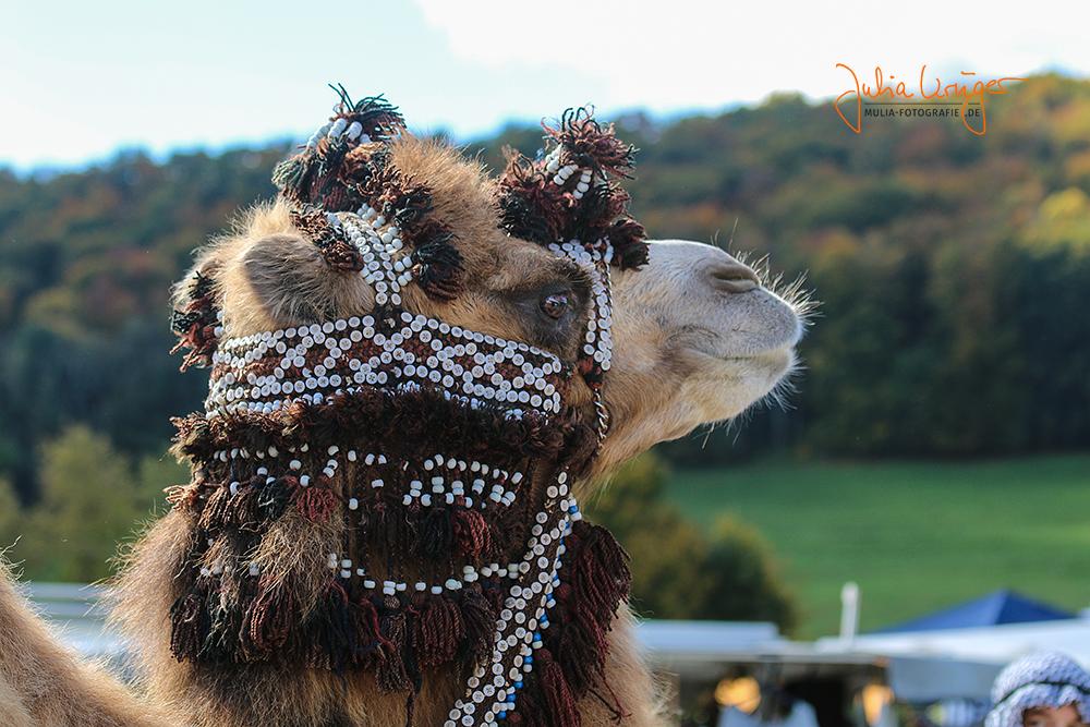 Kamel auf der Alb