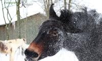 Muli nach dem Schneebad
