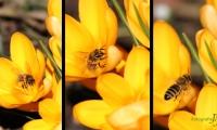 Fleißiges Frühlingsbienchen