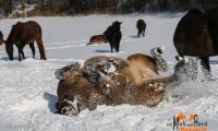 Merle im Schneebad -2