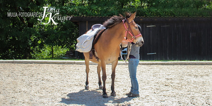 Maultierstute Elli von Albmuli.de beim Fest der Pferde 2017 in Lauffen a.N.